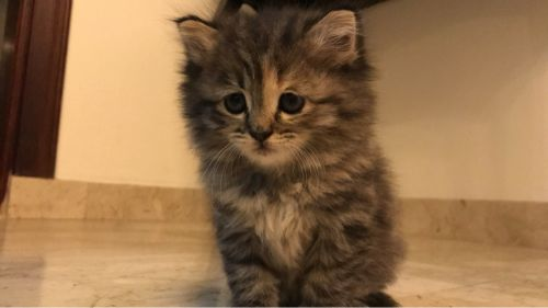 2 sherazi adorable kittens