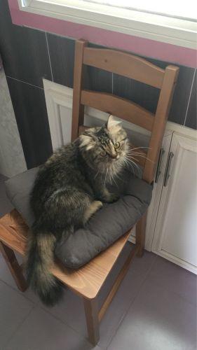 قطة شيرازية للتبني
