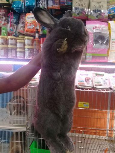 ارنب عملاق منتج