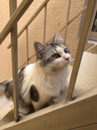 Shiraz male cat for sale