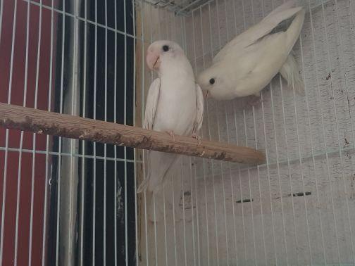 whit love bird