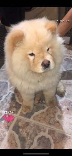Male chow chow dog for sale