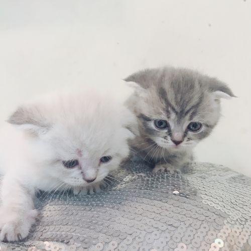 Scottish Fold/Straight Kittens