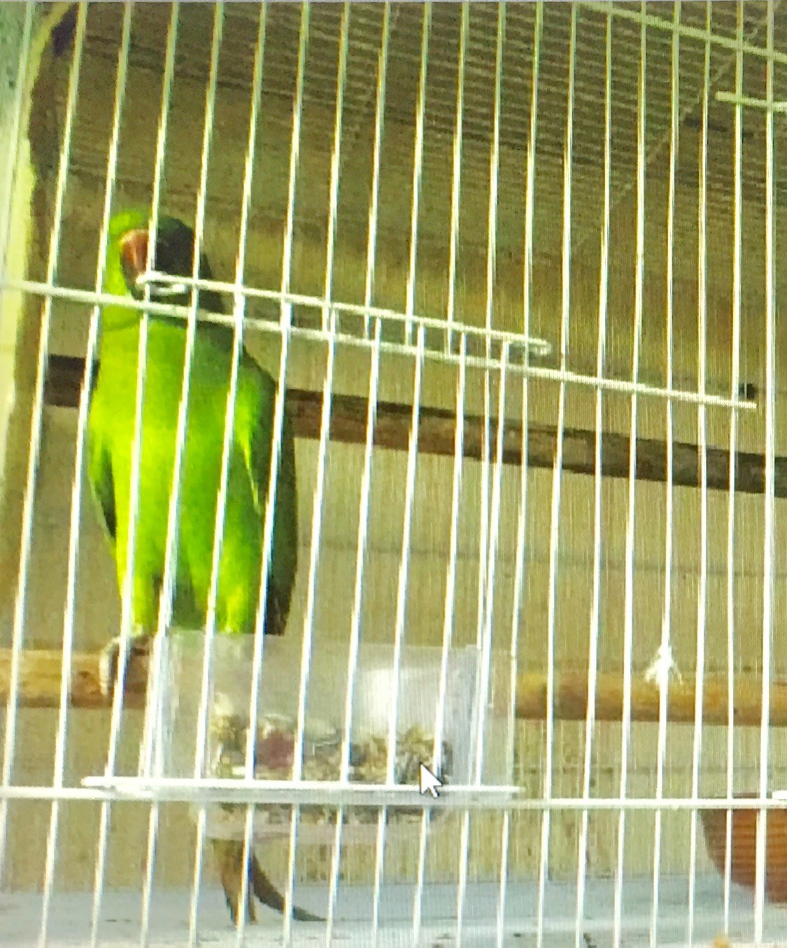 Green Indian parrot for sale